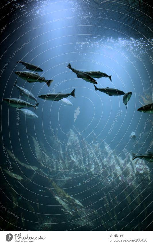 Deep Blue ll harmonisch tauchen Wasser Algen Fisch Aquarium Schwarm Bewegung Zusammensein nass blau Einigkeit ruhig Fernweh geheimnisvoll Fischschwarm