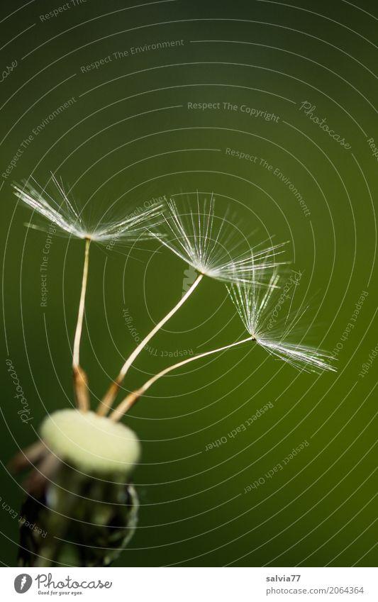 wer fliegt zuerst? Umwelt Natur Pflanze Frühling Blume Blüte Löwenzahn Samen Wiese berühren warten klein oben weich grün ästhetisch Leichtigkeit Mobilität