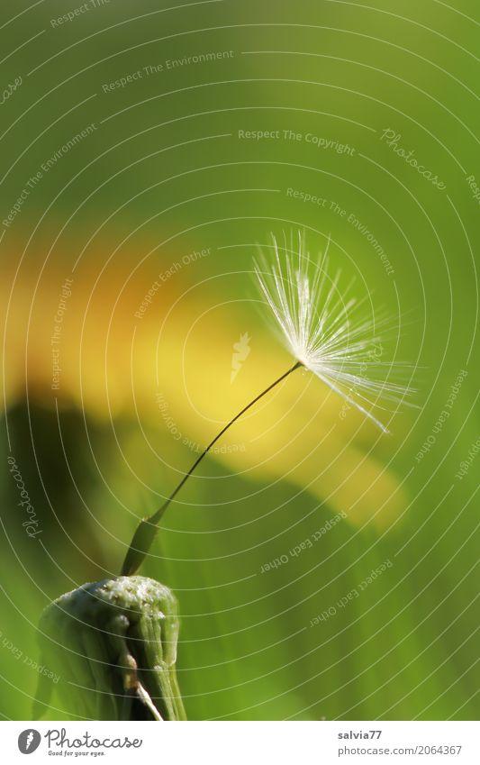 Solist Natur Pflanze Frühling Blume Blüte Wildpflanze Löwenzahn Samen Wiese Blühend verblüht ästhetisch oben positiv gelb grün einzigartig Hoffnung Leben
