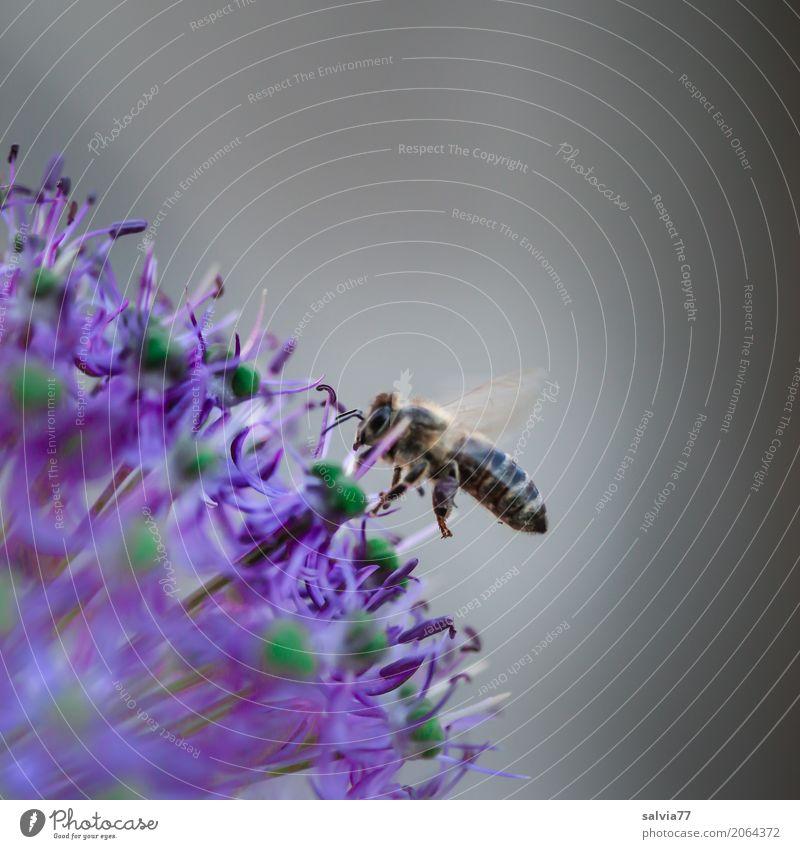Punktlandung Leben Duft Natur Frühling Blume Blüte Garten Nutztier Biene Flügel Honigbiene Insekt 1 Tier fliegen lecker blau grau Idylle Zierlauch Porree