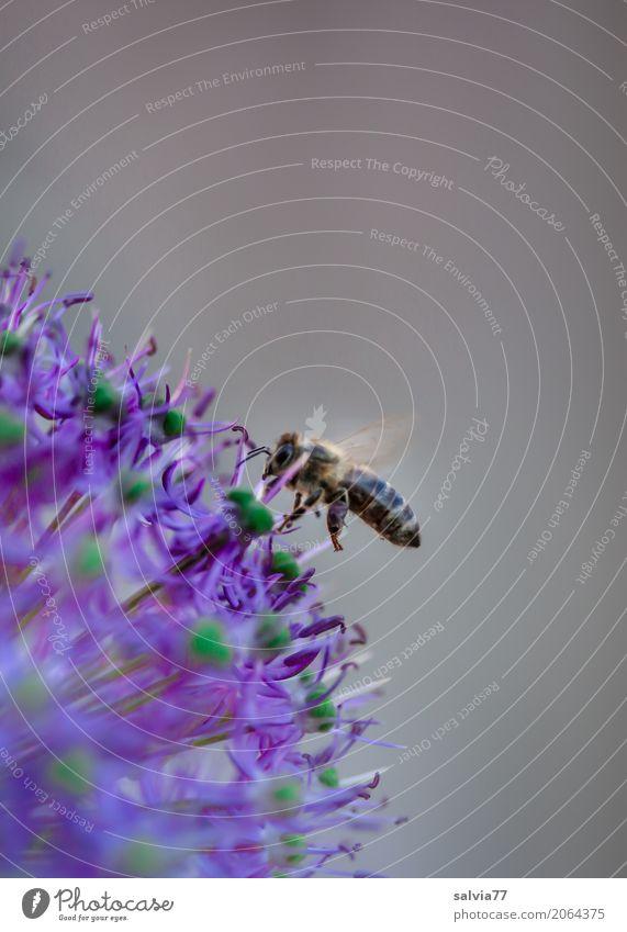 Bienchen und Sternchen Natur Tier Umwelt Garten grau Arbeit & Erwerbstätigkeit fliegen Blühend Flügel Ziel violett Insekt Haustier Biene Duft Mobilität