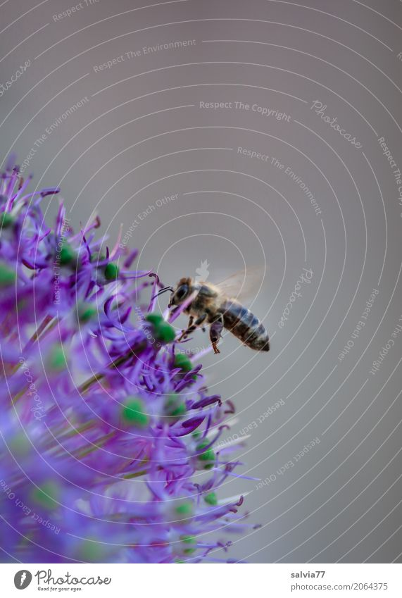 Bienchen und Sternchen Umwelt Natur Garten Tier Haustier Biene Flügel Insekt Honigbiene 1 Blühend Duft fliegen grau violett Frühlingsgefühle Leichtigkeit