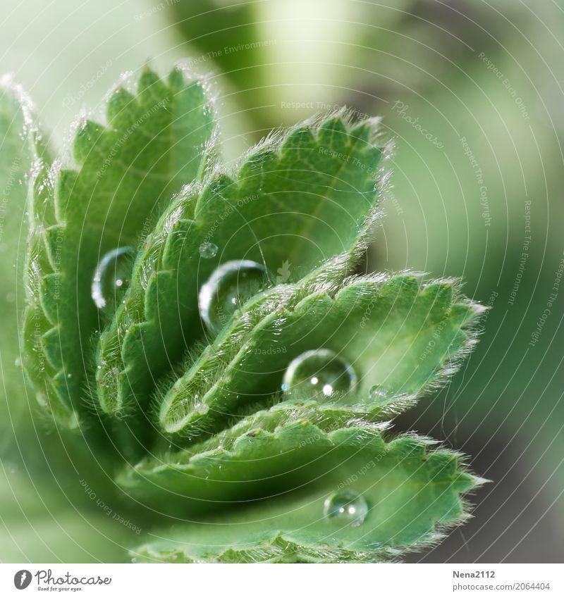 Ordnung Umwelt Natur Pflanze Wasser Wassertropfen Frühling Sommer Wetter Blatt Garten Park Wiese Flüssigkeit nass rund grün Tau aufräumen feucht Morgen Farbfoto