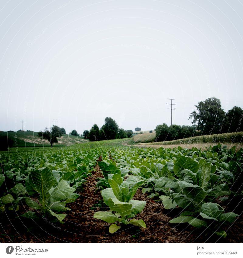 rübenacker Natur Pflanze Himmel Nutzpflanze Feld nachhaltig blau grün Farbfoto Außenaufnahme Menschenleer Textfreiraum oben Tag Totale Landwirtschaft Ackerbau