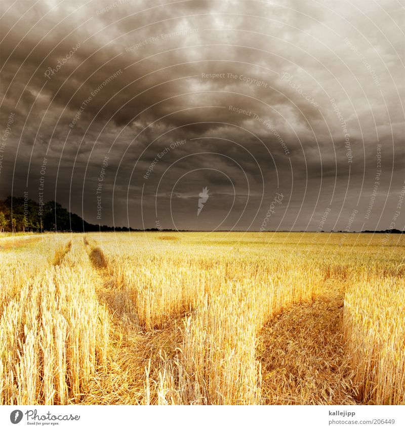fields of gold Himmel Pflanze Sommer Wolken Ferne Feld Wetter Horizont Klima Getreide Spuren trocken Gewitter Wirtschaft Unwetter Ackerbau