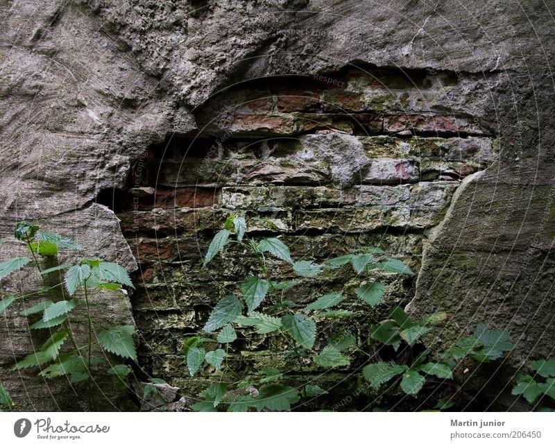 Zahn der Zeit Umwelt Natur Pflanze Blatt Grünpflanze Wildpflanze Brennnessel Mauer Wand Fassade Steinwand Putz Putzfassade Backstein alt kaputt Verfall