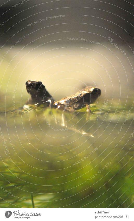 Froschromantik Natur Wasser Tier Zusammensein Tierpaar klein sitzen Vertrauen Aquarium hocken Brunft winzig