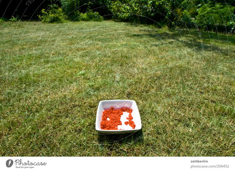 Rote Johannisbeeren Natur Pflanze rot Sommer Wiese Gras Garten Park Schalen & Schüsseln Frucht Nutzpflanze gepflückt