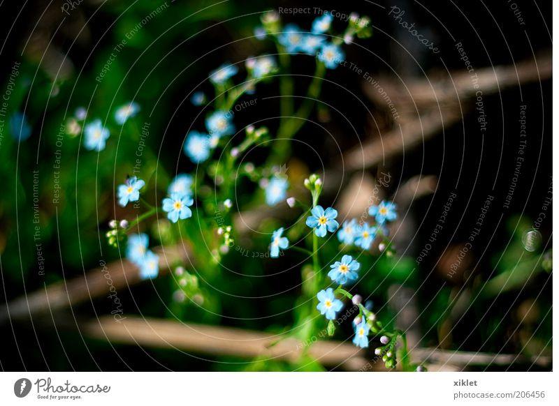 kleine Blumen Frühling blau grün Berge u. Gebirge wild Natur Wind heizen Pflanzensaft Sommer romantisch Pétadas Sträucher Gras welk