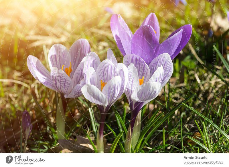 Frühling Ostern Natur Pflanze Erde Sommer Schönes Wetter Blume Krokusse Garten Park Wiese atmen Duft leuchten ästhetisch frei Freundlichkeit natürlich positiv