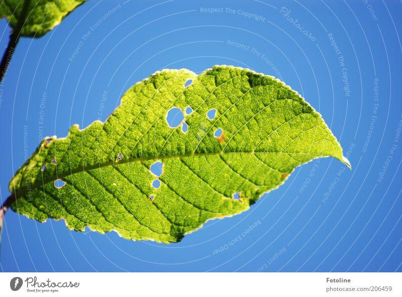 Raupenbuffet Natur Himmel grün blau Pflanze Blatt Wärme hell Wetter Umwelt Loch durchsichtig Blattadern Wolkenloser Himmel Blattgrün durchscheinend