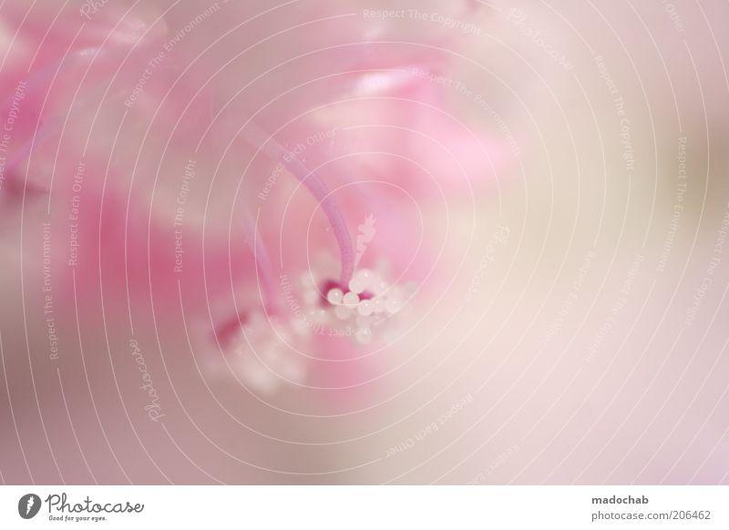 come in and find out Natur schön Pflanze Farbe Stil Blüte rosa ästhetisch weich rein zart harmonisch Unschärfe High Key Blütenblatt Licht