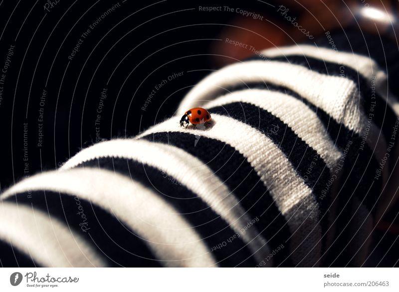 gepunktet auf gestreift Bekleidung Stoff Käfer Marienkäfer 1 Tier klein rot schwarz weiß ruhig fein Farbfoto Menschenleer Kontrast Streifen Glücksbringer