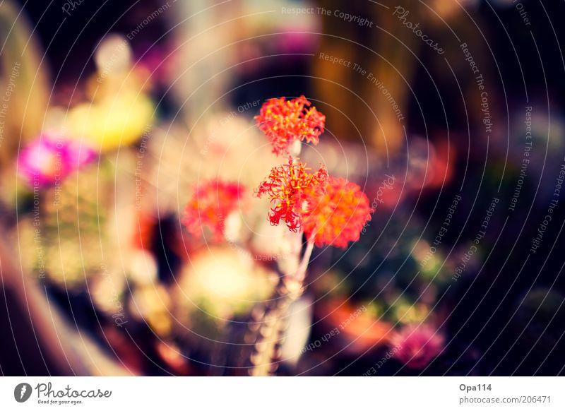 mein kleiner orange-roter kaktus steht draußen..... Natur Pflanze rot Sommer Farbe Blüte Wärme rosa ästhetisch violett Blühend exotisch Kaktus