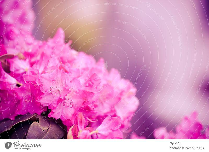 dream catch me Natur Blume Pflanze Sommer Farbe Blüte Frühling rosa frisch weich violett Blühend exotisch Umwelt Rhododendron
