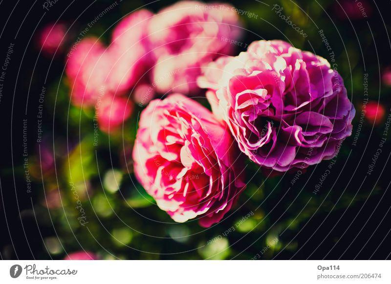 a rose is still a rose schön Blume Pflanze Sommer Blüte Frühling rosa Rose ästhetisch weich violett Duft Blütenblatt