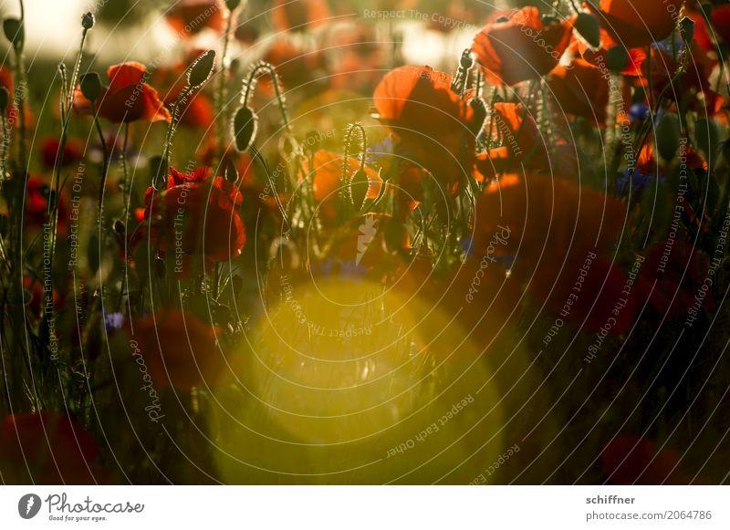 Mo(h)n Ami Natur Sonne Sonnenaufgang Sonnenuntergang Sonnenlicht Sommer Schönes Wetter Pflanze Blume Sträucher Blatt Blüte Feld rot Mohn Mohnblüte Mohnfeld