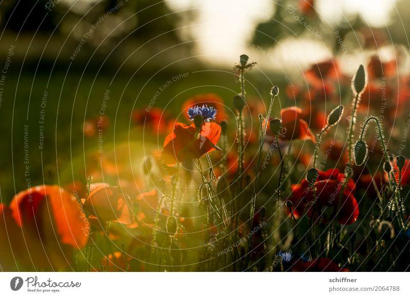 Mo(h)n Amour Natur Landschaft Pflanze Sonne Sonnenaufgang Sonnenuntergang Sonnenlicht Sommer Schönes Wetter Blume Gras Sträucher Blüte Grünpflanze Nutzpflanze