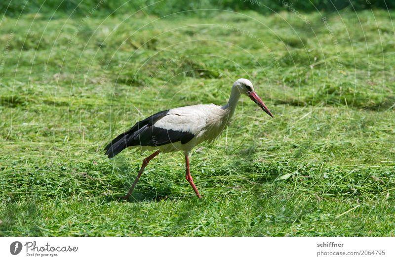 Zusteller sucht immer noch grün Tier Wiese Vogel gehen Feld Baby Suche schreiten Storch Nahrungssuche beleidigt