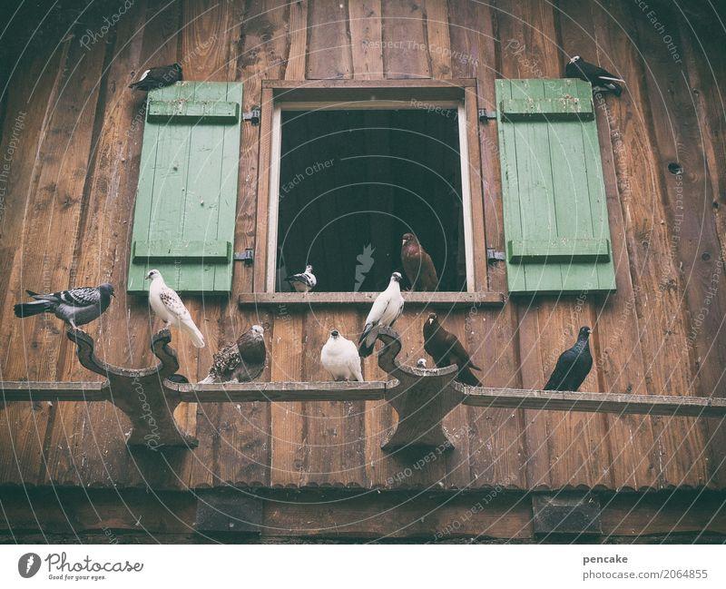 wohngemeinschaft   unterm dach juche Natur Sommer Haus Fenster Tier Vogel Tiergruppe Brunft bauen beobachten fliegen genießen Blick Taube Taubenschlag