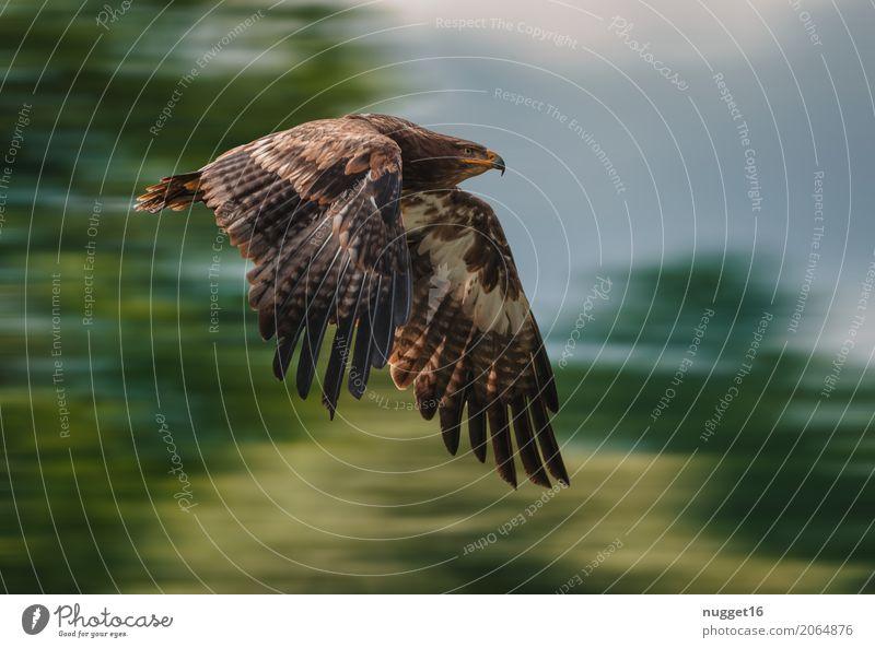 Steppenadler Umwelt Natur Tier Himmel Frühling Sommer Herbst Schönes Wetter Baum Wildtier Vogel Flügel Adler 1 fliegen Jagd Aggression ästhetisch sportlich