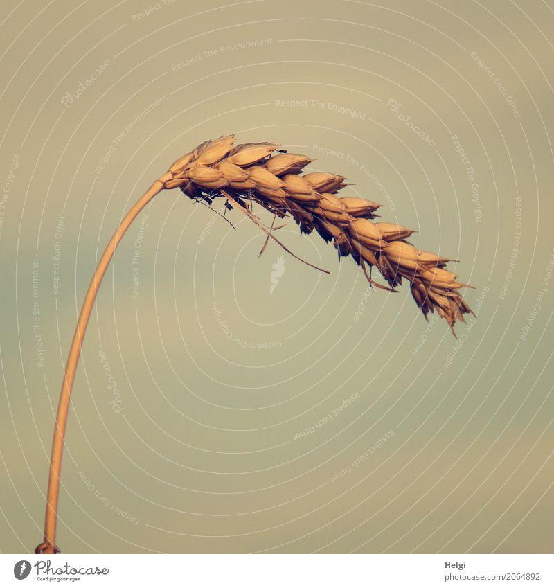habe die Ähre ... Getreide Weizen Ähren Ernährung Umwelt Natur Pflanze Himmel Nutzpflanze Feld Käfer 1 Tier stehen Wachstum klein natürlich blau braun grau