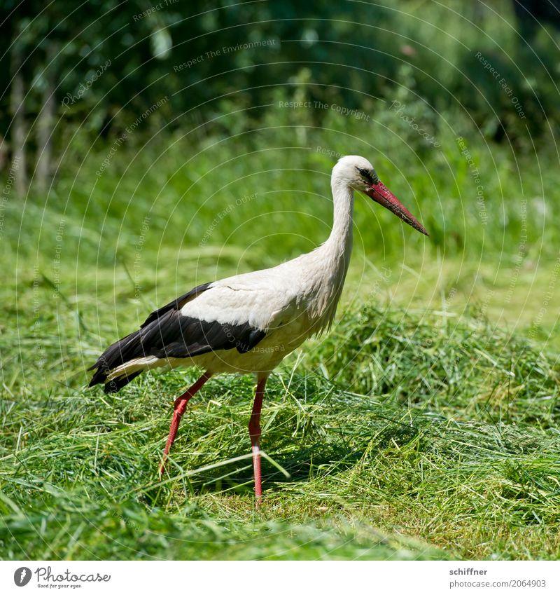 Zusteller sucht Fahrrad Tier Vogel 1 gehen grün schreiten Suche Nahrungssuche Storch Wiese Gras Feld Baby Außenaufnahme Menschenleer