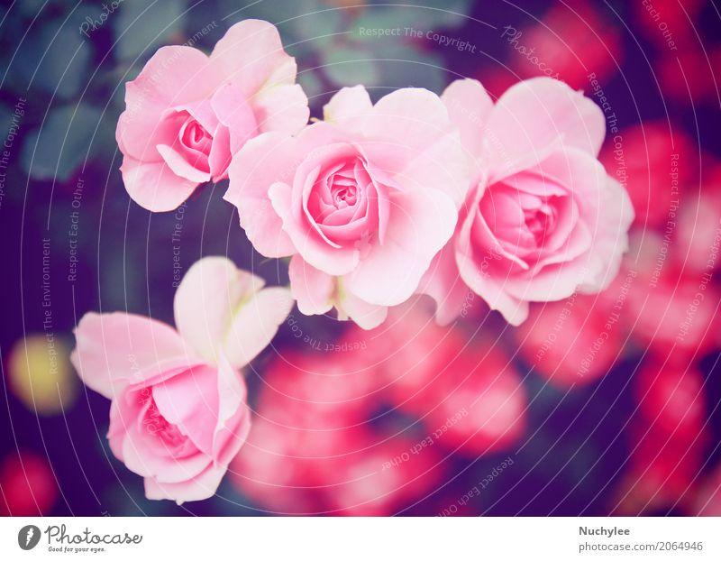 Rosarose im Garten Sommer Feste & Feiern Valentinstag Natur Blume Blatt Blüte Blumenstrauß Blühend Liebe frisch hell retro rosa Romantik Farbe Nostalgie Gruß