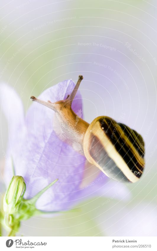 Auf Abwegen Natur Auge Tier oben Blüte Umwelt beobachten Wildtier feucht Fressen Schnecke Fühler Blume schleimig Schneckenhaus Glockenblume