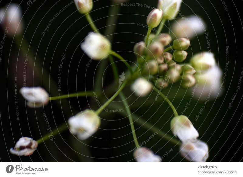 die Blume. Natur Pflanze Blüte ästhetisch schön grün schwarz weiß Farbfoto Makroaufnahme Hintergrund neutral Licht Kontrast Unschärfe Schwache Tiefenschärfe
