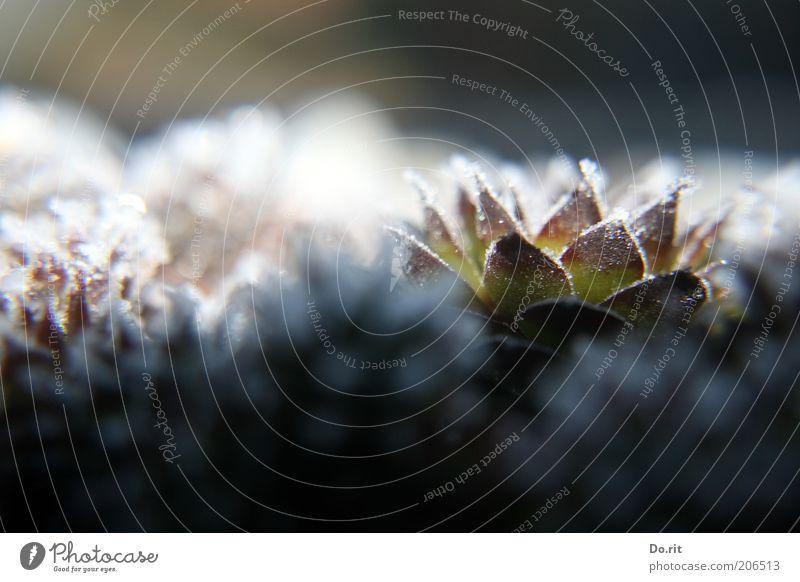 Trio Natur schön Pflanze Winter kalt Eis Frost gefroren frieren Kaktus stachelig
