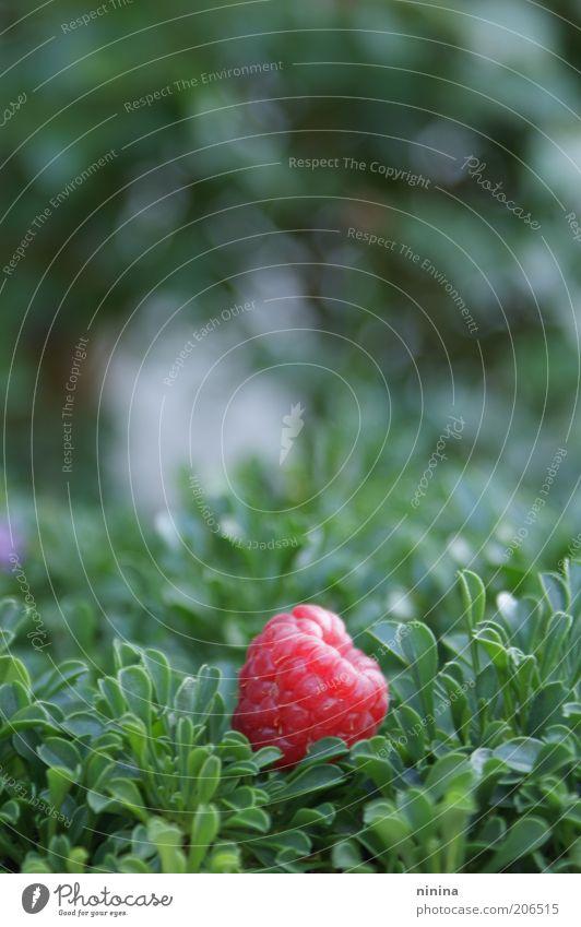 Himbeersalat Natur Pflanze Sommer Gesundheit rosa Frucht frisch süß gut natürlich lecker Bioprodukte einzeln Himbeeren