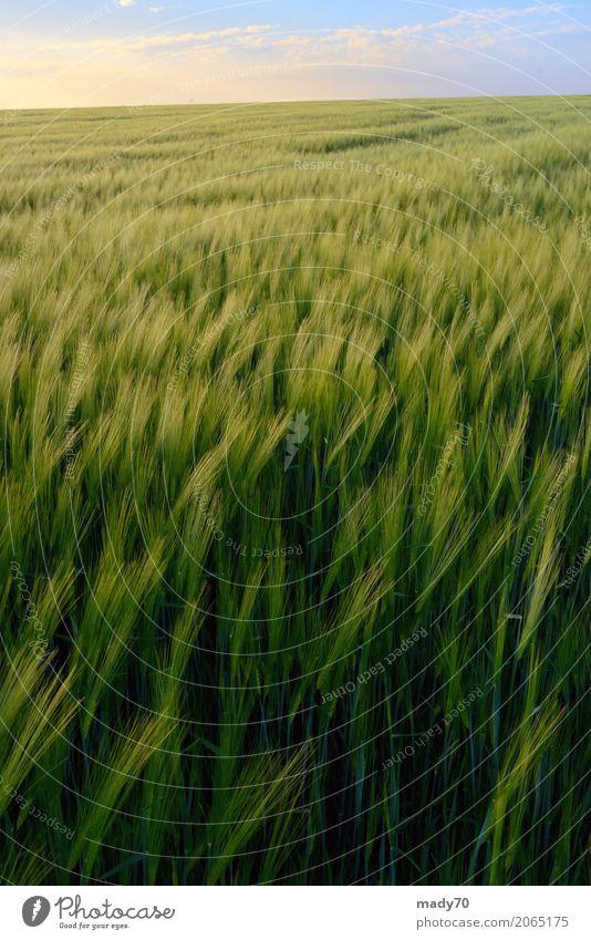 Schöner Sonnenuntergang über grünem Roggenfeld Brot Sommer Finger Natur Landschaft Pflanze Himmel Wolken Wetter Wind Gras Wachstum gelb gold Feld Aussicht