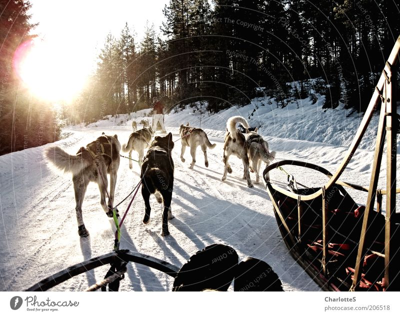 Abenteuer mit Schlittenhunden Schlittenhundrennen Hundeschlitten Husky Wintersport Eis Frost Schnee Norwegen Wege & Pfade Tiergruppe Rudel fahren