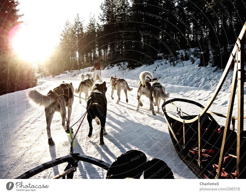 Abenteuer mit Schlittenhunden weiß Sonne Ferien & Urlaub & Reisen Winter Schnee Wege & Pfade Hund Eis rennen Geschwindigkeit Frost fahren Tiergruppe