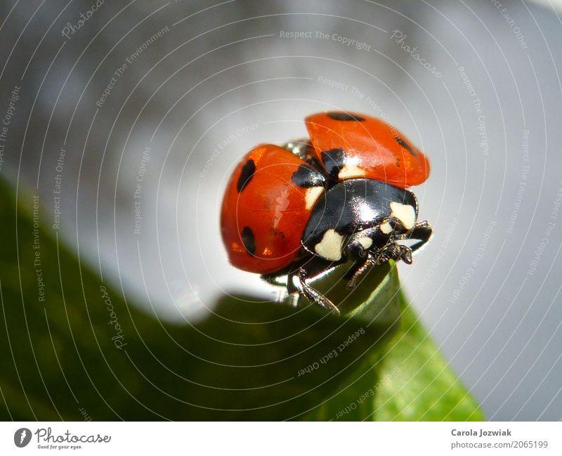 Marienkäfer auf dem Blatt Tier Wildtier Käfer Tiergesicht Flügel 1 Kugel berühren Bewegung festhalten krabbeln laufen sitzen dick schön klein natürlich niedlich