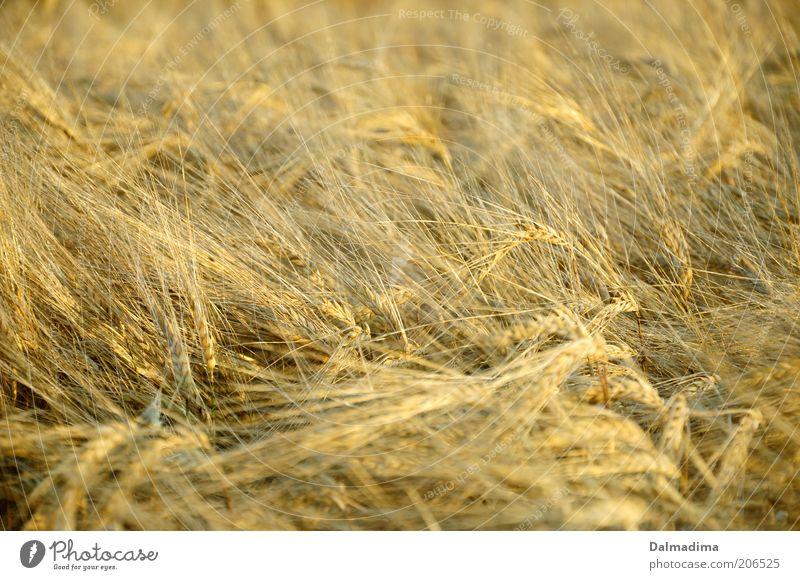 Weizenfeld Natur Sommer Pflanze Nutzpflanze Feld ästhetisch gut hell schön natürlich gelb gold Ackerbau Farbfoto Außenaufnahme Menschenleer Morgen Tag