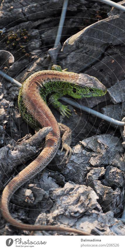 Zauneidechse Tier Umwelt entdecken Wildtier Reptil