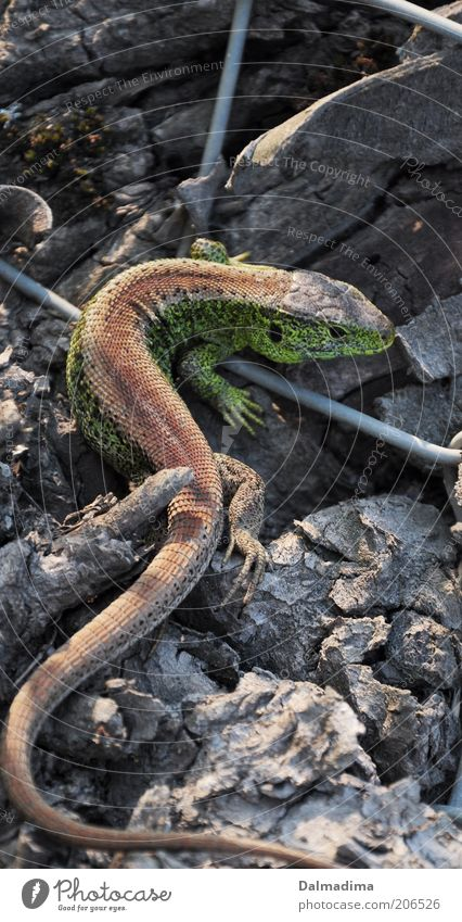 Zauneidechse Umwelt Wildtier Reptil 1 Tier entdecken Farbfoto Außenaufnahme Nahaufnahme Menschenleer Tag Licht Sonnenlicht Ganzkörperaufnahme Rückansicht