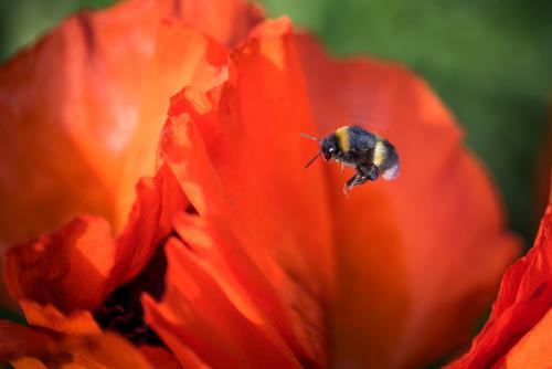 Fleißige Hummel Natur Pflanze Tier Sommer Schönes Wetter Blume Blüte Mohnblüte Pollen Garten 1 Blühend Fitness fliegen ästhetisch nachhaltig gelb grün orange