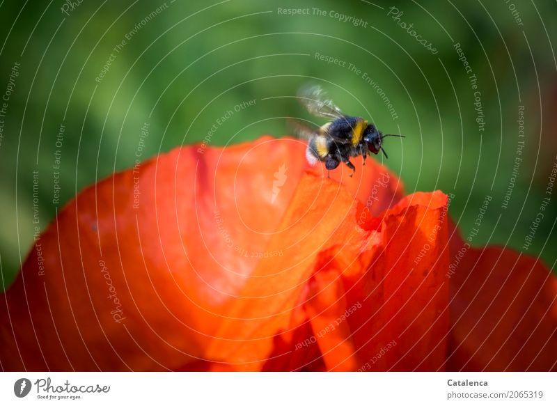 Genug gesammelt Natur Pflanze Sommer grün Blume Tier schwarz gelb Blüte Garten fliegen Stimmung orange Erfolg Schönes Wetter Blühend