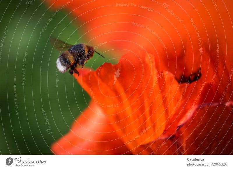 Noch ein fleißiges Hümmelchen Natur Pflanze Tier Sommer Schönes Wetter Blume Blüte Mohn Mohnblatt Mohnblüte Garten Insekt Hummel Blühend fliegen verblüht