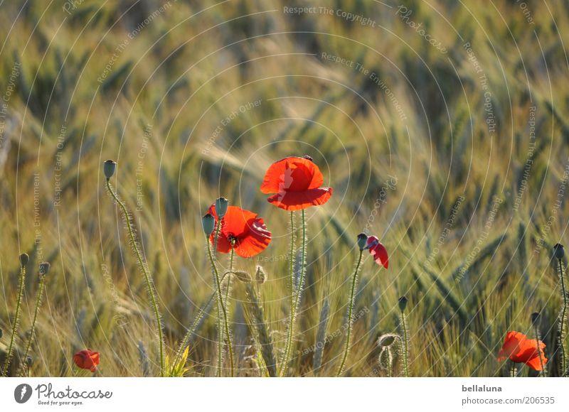 Mohnbrötchen Umwelt Natur Pflanze Sonnenlicht Sommer Klima Schönes Wetter Wärme Blume Blüte Feld schön Mohnfeld Getreide Getreidefeld Gerste Gerstenfeld Blühend