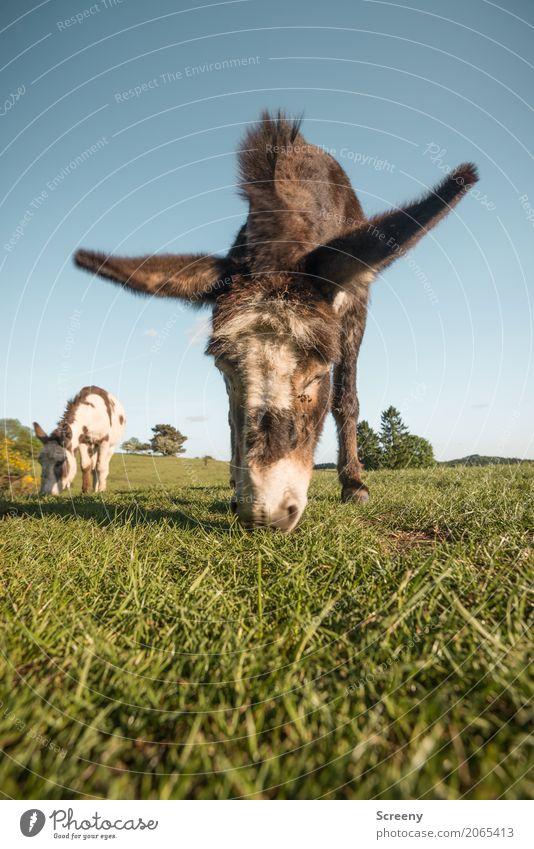 700   Natürlicher Rasenmäher Natur Landschaft Pflanze Tier Wolkenloser Himmel Frühling Sommer Schönes Wetter Gras Wiese Feld Eifel Nutztier Esel Eselsohr 2