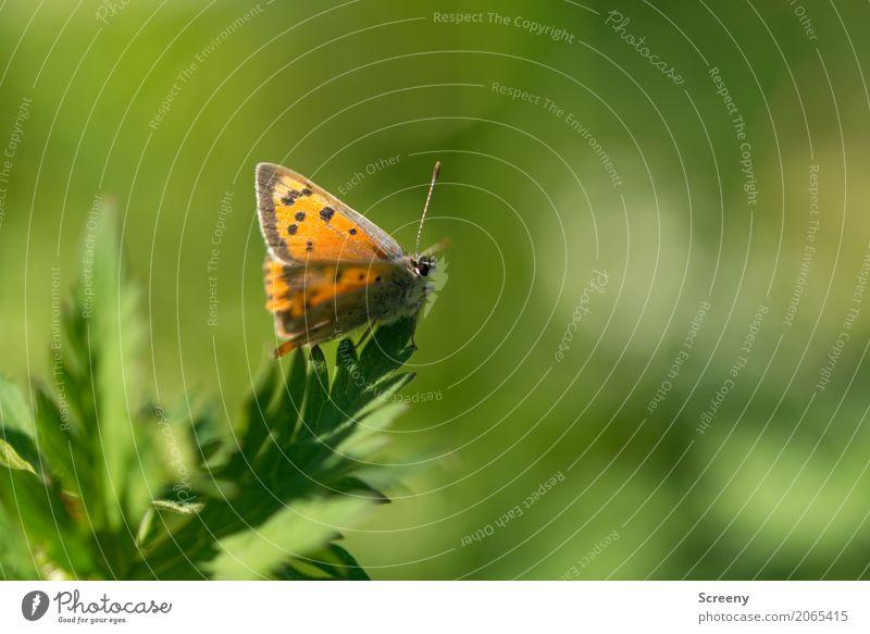 Falter Natur Pflanze Tier Frühling Sommer Schönes Wetter Blatt Wiese Schmetterling 1 sitzen warten klein braun gelb grün orange Gelassenheit geduldig ruhig