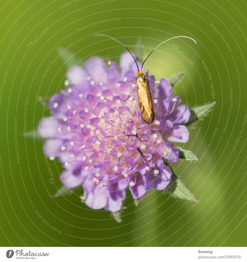 Goldig Natur Pflanze Tier Frühling Sommer Schönes Wetter Blume Wiese Feld Käfer 1 krabbeln klein gelb gold grün violett Fühler Farbfoto Außenaufnahme