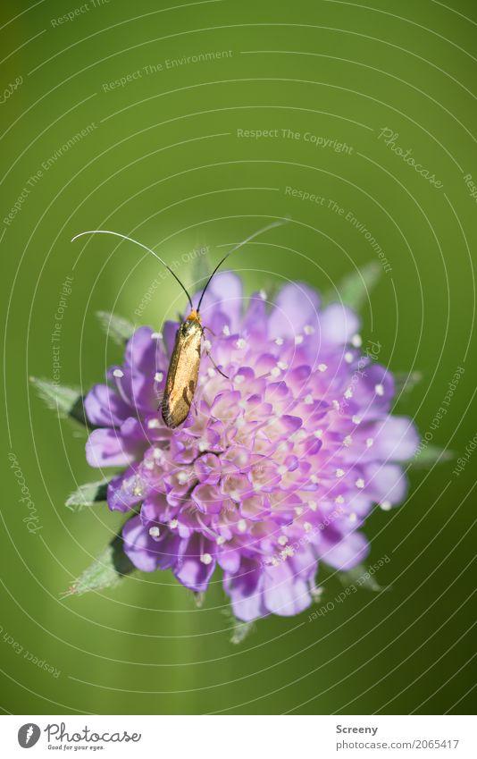 Goldiges Kerlchen Natur Pflanze Tier Frühling Sommer Schönes Wetter Blume Blüte Wiese Käfer 1 sitzen klein gold grün rosa zerbrechlich Fühler