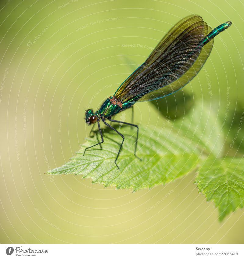 Fragil Natur Pflanze Tier Sommer Blatt Wald Flussufer Libelle Insekt 1 sitzen klein zerbrechlich Flügel Farbfoto Nahaufnahme Makroaufnahme Menschenleer Tag