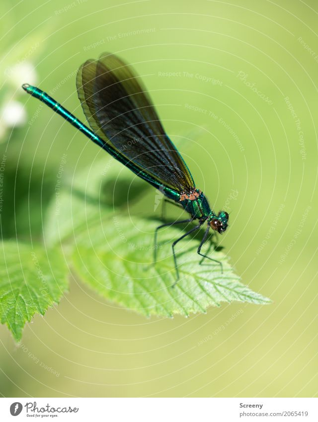 Startbereit Natur Pflanze Tier Frühling Sommer Schönes Wetter Sträucher Blatt Wiese Libelle Libellenflügel Insekt 1 sitzen warten Krankheit Gelassenheit