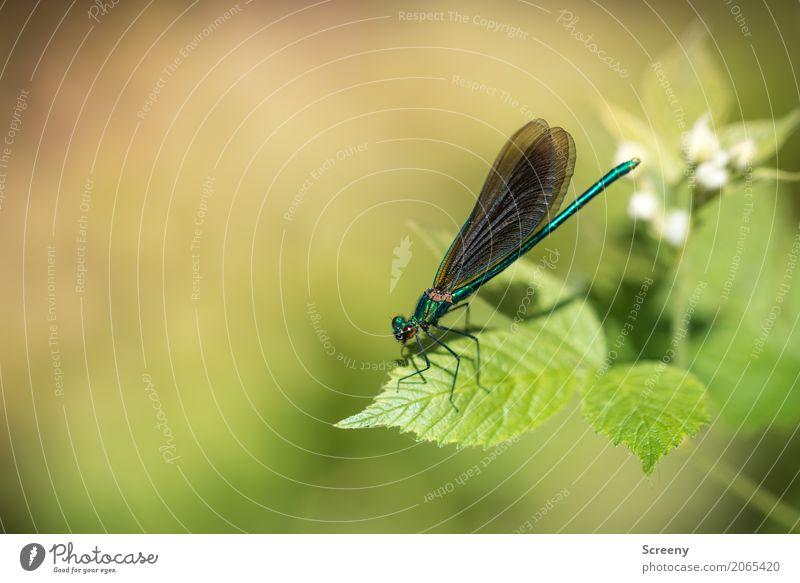 Auftanken Natur Pflanze Tier Frühling Sommer Schönes Wetter Sträucher Blatt Blüte Wald Flussufer Libelle 1 sitzen klein Gelassenheit geduldig ruhig zerbrechlich